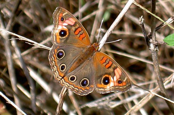 Leptiri - Page 2 Papillon