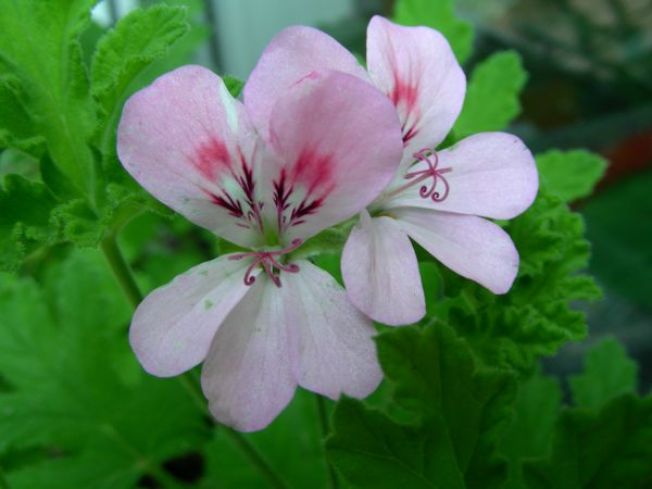 Pelargonium graveolens l for Pelargonium graveolens