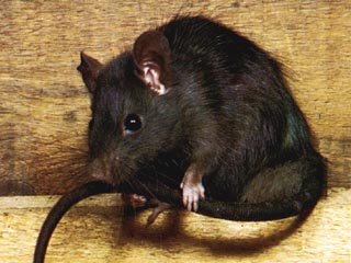 http://www.potomitan.info/photo/rat.jpg